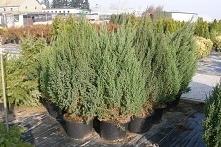 Jałowiec-chiński-Stricta-Juniperus-chinensis
