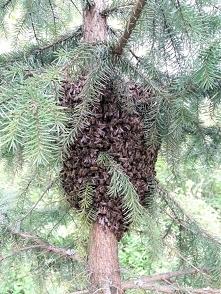 Rójka pszczół