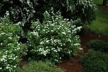 Tawuła brzozolistna Tor Spiraea betulifolia