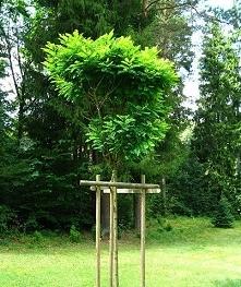 Robinia akacjowa Umbraculif...