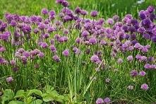 CZOSNEK SZCZYPIOREK ALLIUM SCHOENOPRASUM Roślina cebulowa tworząca gęste, kuliste, różowo-fioletowe kwiatostany przyciągające pszczoły i motyle. Czosnek szczypiorek Allium schoe...