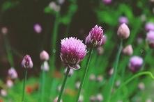 CZOSNEK SZCZYPIOREK ALLIUM SCHOENOPRASUM Roślina cebulowa tworząca gęste, kul...