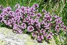 Macierzanka piaskowa Thymus...