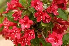 Krzewuszka cudowna Red Prince Weigela florida