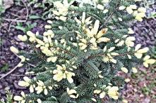 Świerk kłujący Białobok Picea pungens