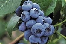 BORÓWKA AMERYKAŃSKA BLUECROP VACCINIUM CORYMBOSUM Borówka amerykańska Bluecrop rośnie do ok 1,5 – 2 m. Owoce są dość duże i zbierają się w luźne, ale duże grona. Jest średnio wc...