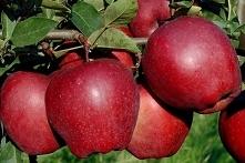 JABŁOŃ STARKING MALUS DOMESTICA Jabłoń Starking obficie i corocznie owocująca...