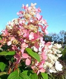 HORTENSJA BUKIETOWA PINK DIAMOND HYDRANGEA PANICULATA To ładny krzew, który d...