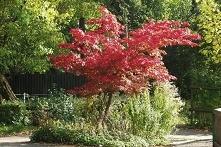 Klon palmowy czerwony Atropurpureum Acer palmatum