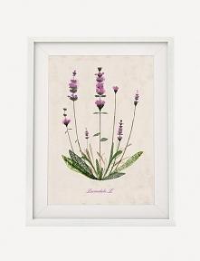 Lawenda | plakat botaniczny A4