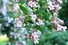 KOLKWICJA CHIŃSKA PINK CLOUD KOLKWITZIA AMABILIS Niezwykle piękny krzew ozdobny. Bezsprzecznie największym jego atutem są różowe kwiaty. Krzew Kolkwicji chińskiej Pink Cloud oży...