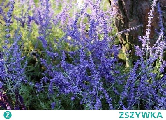 Perowskia Blue Spire przejawia niezwykłe walory dekoracyjne. Najlepiej prezentuje się, w dużych grupach, tej samej odmiany.