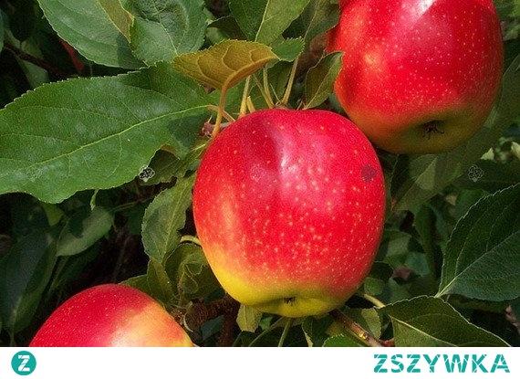 JABŁOŃ GALA MALUS DOMESTICA 'Gala' jest odmianą przetwórczą i wybitnie deserową, której owoce dojrzewają pod koniec września. Miąższ tej odmiany jest żółty, bardzo słodki, chrupiący i soczysty. Jabłoń godna polecenia do ogrodów przydomowych, działkowych. W pełni mrozoodporna.