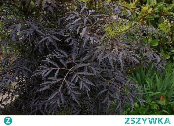 Bez czarny Black Lace Sambucus nigra