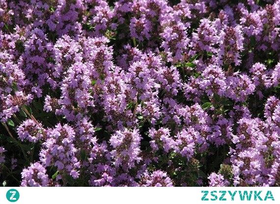 Macierzanka piaskowa Thymus serpyllum