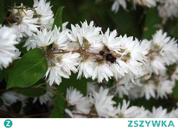 Żylistek karbowany Dippon Deutzia crenata