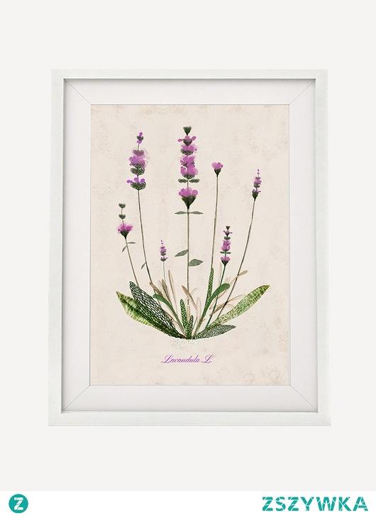 Lawenda   plakat botaniczny A4