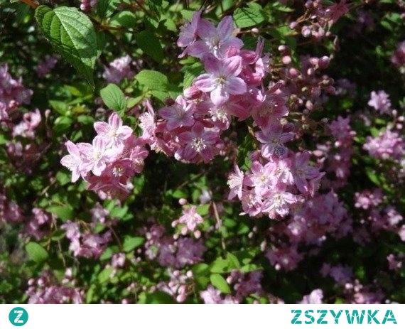 Żylistek przepiękny Rosealind Deutzia elegantissima