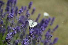 LAWENDA WĄSKOLISTNA HIDCOTE LAVANDULA ANGUSTIFOLIA Lawenda wąskolistna Hidcotep to pięknie kwitnąca krzewinka ozdobna ok.40cm wys., o intensywnie fioletowo-niebieskim kolorze i ...