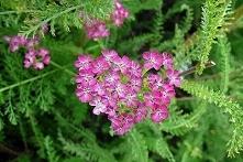 KRWAWNIK POSPOLITY CERISE QUEEN ACHILLEA MILLEFOLIUM Roślina wieloletnia, kwi...