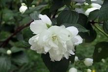 JAŚMINOWIEC DAME BLANCHE PHILADELPHUS Jaśminowiec Dame Blanche pochodzi z rodziny krzewów liściastych.Najlepszymi miejscami dla tych roślin są oczywiście ogrody przydomowe.