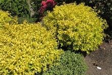 TAWUŁA JAPOŃSKA GOLDMOUND SPIRAEA JAPONICA Kwiaty mają różowy kolor i są drob...