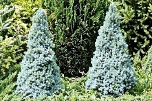 Świerk biały Sander's Blue Picea glauca