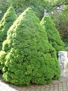 ŚWIERK BIAŁY CONICA PICEA GLAUCA Conica jest to najbardziej znana odmiana świerka białego. Ta odmiana świerku nadaje się do nasadzeń w każdym ogrodzie przydomowym, w parkach ora...