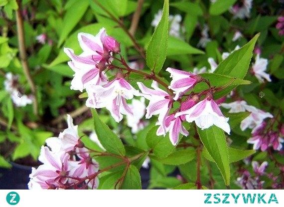 ŻYLISTEK MIESZAŃCOWY MAGICIEN DEUTZIA HYBRIDA Ozdobny krzew liściasty, którego dekoracyjność wynika głównie z przepięknych, różowych kwiatów. Żylistek mieszańcowy Magicien Deutzia może być sadzony jako soltier i w grupach na obwódkach, rabatach oraz w ogródkach przydomowych pośród innych bylin.