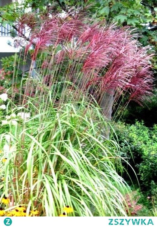 Miskant chiński Red Chief jest piękną trawą tworzącą kępy.