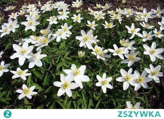 ZAWILEC WIELKOKWIATOWY ANEMONE SYLVESTRIS Zawilec wielkokwiatowy dorasta do 40 centymetrów wysokości. Roślina zakwita w kwietniu i zachwyca swą urodą do czerwca. Kwiaty zawilca wielkokwiatowego są średniej wielkości. Stanowiska lekko zacienionych. Potrzebuje lekkiej gleby.