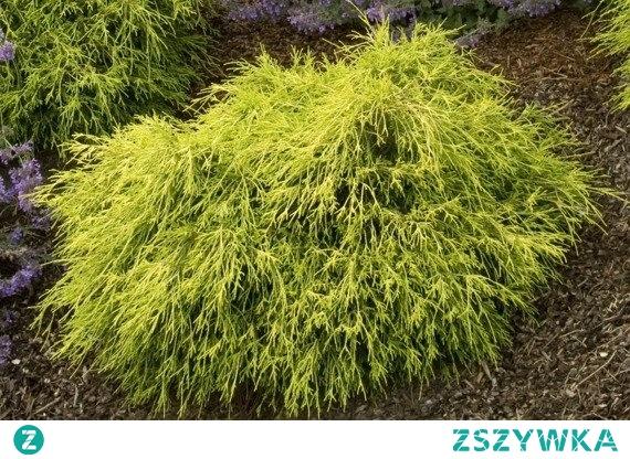 CYPRYSIK GROSZKOWY SUNGOLD CHAMAECYPARIS PISIFERA Cyprysik groszkowy Sungold jest rośliną wolno rosnącą i bardzo oryginalną. Posiada cienkie, sznurowate pędy w odcieniu złoty, które kaskadowo zwisają od czubka aż do samej ziemi, tworząc przy tym złotą fontannę.