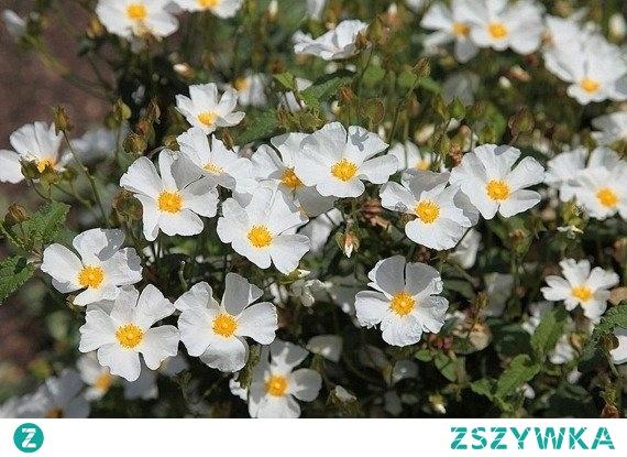 PIĘCIORNIK KRZEWIASTY ABBOTSWOOD POTENTILLA FRUTICOSA Jest to krzew liściasty z rodziny różowatych.Pięciornik krzewiasty Abbotswood jest bardzo odporny na warunki miejsce dlatego może być sadzony w miejskich parkach i ogrodach jako roślina ozdobna, bardzo odporna na mróz.