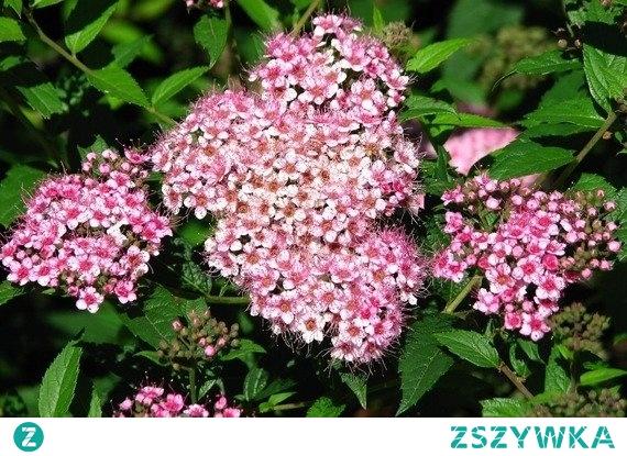TAWUŁA JAPOŃSKA JAPANESE DWARF SPIRAEA JAPONICA Drobne kwiaty cieszą oko różową barwą i są zebrane w kwiatostany na końcach pędów. Roślina polecana do ogrodów przydomowych, miejskich czy osiedlowych. Nadaje się również do ogrodów skalnych, na skarpy, rabaty czy niskie żywopłoty.