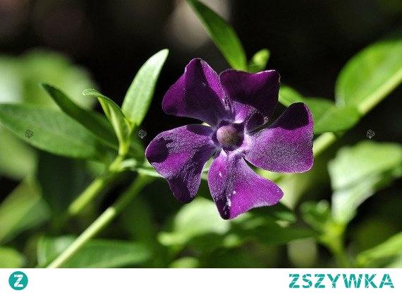BARWINEK POSPOLITY ATROPURPUREA VINCA MINOR Roślina okrywowa i zadarniająca o drobnych, dekoracyjnych, zimozielonych liściach i purpurowofioletowych kwiatach. Barwinek pospolity Atropurpurea Vinca minor polecany jest do zieleni publicznej oraz do uprawy w pojemnikach na balkony i tarasy.
