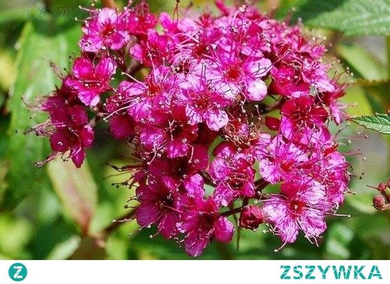 TAWUŁA JAPOŃSKA COUNTRY RED SPIRAEA JAPONICA Dojrzałej rośliny liście zmieniają kolor na zielony, o zdecydowanym zakończeniu. Tawuła japońska Country Red idealnie pasuje do ogrodów, parków, zieleni publicznej, a także w pojemnikach.