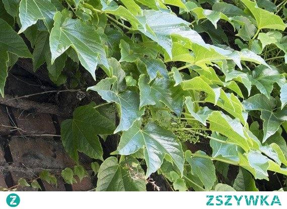 WINOBLUSZCZ TRÓJKLAPOWY VEITCHII PARTHENOCISSUS TRICUSPIDATA Winobluszcz trójklapowy Veitchii bardzo szybko rosnące pnącze, które z łatwością pnie się po różnych podporach. Roślina jest widowiskową ozdobą, dorastając do niemal 20 m. wysokości. Jest całkowicie odporny na mróz i niewymagający w uprawie.