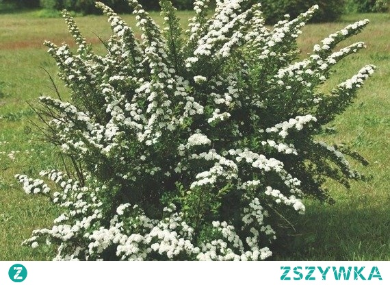 TAWUŁA NIPPOŃSKA SNOWMOUND SPIRAEA NIPPONICA Tawuła nippońska Snowmound jego ozdobą są białe, drobne kwiaty osadzone wzdłuż czerwonawych, pokładających się pędów. Doskonale komponuje się z innymi roślinami. Polecany na żywopłoty, ogrody, szpalery, rabaty.