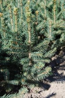 Świerk kłujący Glauca Globosa Picea pungens