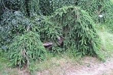 Świerk pospolity Inversa Picea abies