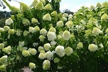Hortensja bukietowa Grandif...
