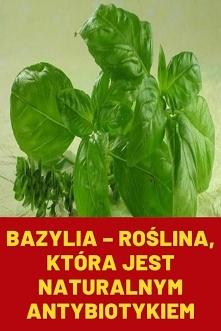 Bazylia – roślina, która je...