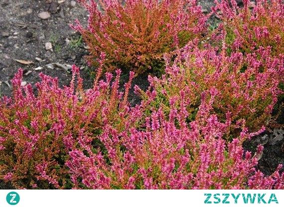 WRZOS POSPOLITY BONITA PBR CALLUNA VULGARIS Wrzos pospolity Bonita Calluna vulgaris to średnio wysoka krzewinka (20-30cm) kwitnąca od IX-XI. Roślinę zdobią pączkowe, różowe kwiaty utrzymujące się aż do przymrozków. Wrzosy najlepiej rosną na glebach kwaśnych. Nadają się do cięcia i formowania.