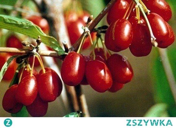 DEREŃ JADALNY JOLICO SZCZEPIONY CORNUS MAS To dorodne krzewy, popularne w nasadzeniach ozdobnych. Dereń jadalny ze względu na duże i szybkie wydawanie owoców, może być uprawiany jako roślina sadownicza. Odmiana 'Jolico' tworzy żółte, baldachowate kwiatostany. To roślina miododajna.