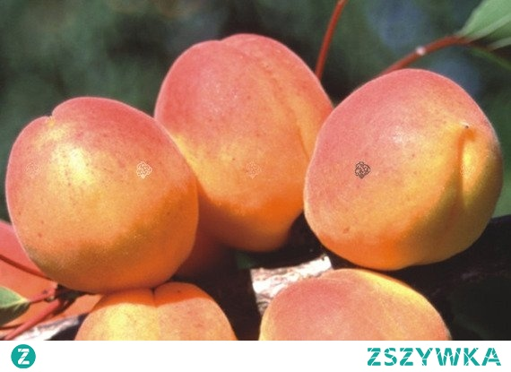 """MORELA HARCOT PRUNUS ARMENIACA """"Harcot"""" to niezwykle popularna odmiana moreli o atrakcyjnych i deserowych owocach. Dobrze owocuje w obecności innych odmian na przełomie lipca/sierpnia. Drzewo rodzi owalne, intensywnie pomarańczowo-czerwone owoce z miąższem łatwo odchodzącym od pestki."""