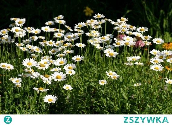 ZŁOCIEŃ WŁAŚCIWY CHRYSANTHEMUM MAXIMUM Wieloletnia bylina potocznie zwana jastrunem właściwym/margerytką, kwitnąca od czerwca do sierpnia. Złocień właściwy jest rośliną niezwykle dekoracyjną i idealną na kwiat cięty. Piękne i pełne kwiaty barwy białej stanowią uroczy element trawników.