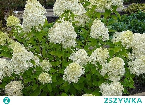 HORTENSJA BUKIETOWA BOBO HYDRANGEA PANICULATA To bardzo efektowny, łatwy w uprawie karłowy krzew (0,7-0,8 m). Pełne, kremowobiałe kwiatostany pojawiają się od lipca do września. Hortensja 'Bobo' charakteryzuje się dość zwartym, wzniesionym pokrojem. Pięknie wygląda w zestawieniu z wieloma bylinami.