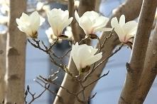 MAGNOLIA POŚREDNIA ALBA SUPERBA MAGNOLIA SOULANGEANA Krzew kwitnie bardzo obf...