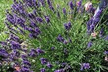 LAWENDA WĄSKOLISTNA MUNSTEAD LAVANDULA ANGUSTIFOLIA Lawenda wąskolistna Munstead krzew liściasty o szerokim i zwartym pokroju. Liście równowąskie, drobne i szarozielone. Kwiaty ...