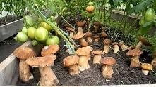 Jak wyhodować w ogrodzie borowiki